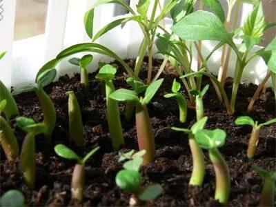Адениум из семян. выращивание из семян (правила посева)   дачная жизнь