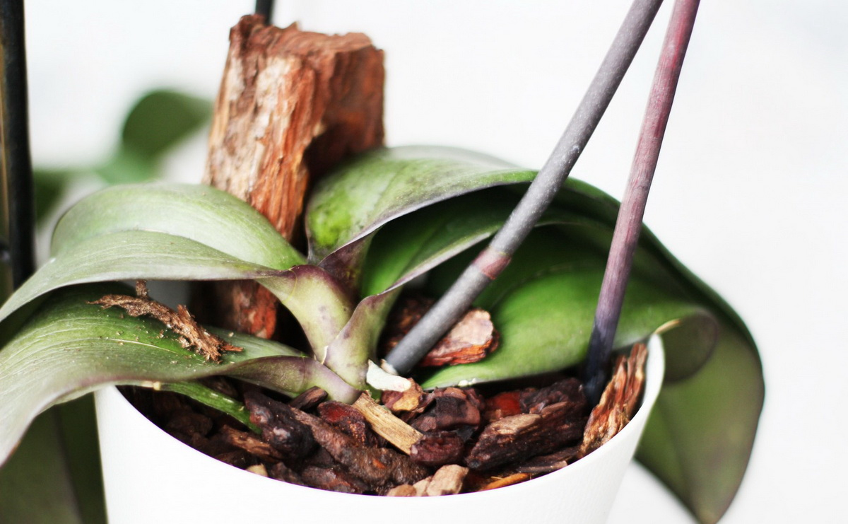 Интересные факты о том, почему у орхидеи желтеет стебель и что делать?