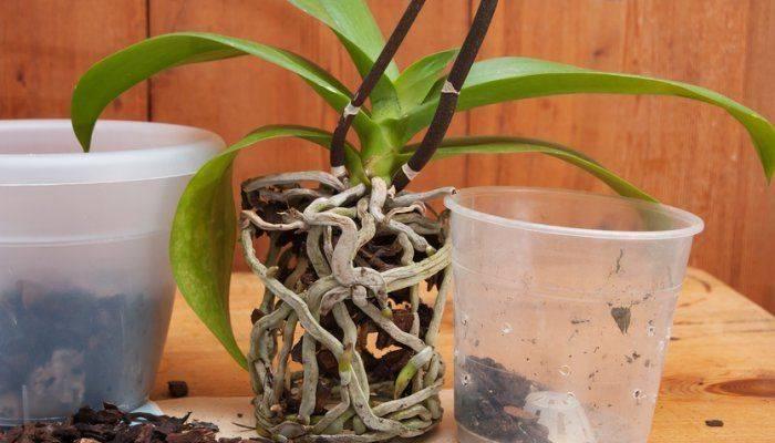 Как ухаживать за орхидеей в горшке, купленной в магазине, в домашних условиях, фото и видео от цветоводов любителей