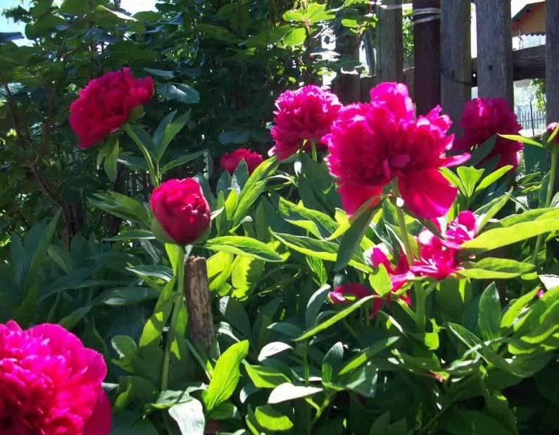 Чем подкормить пионы весной для пышного цветения: удобрения сроки и правила