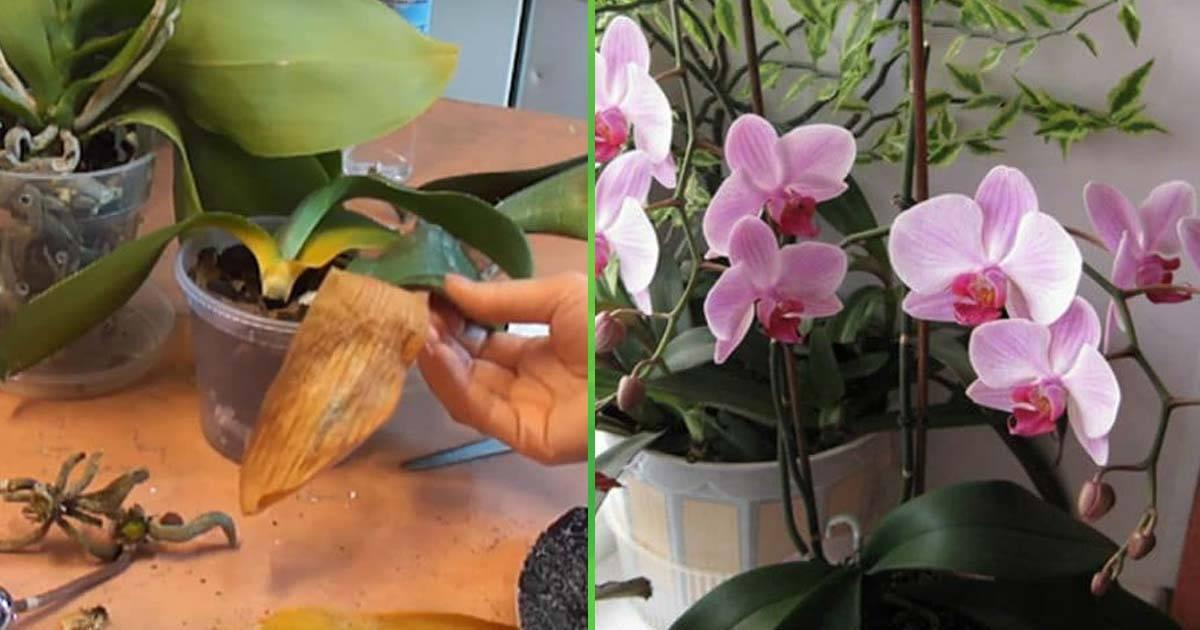 Нарастить корни у орхидей: корневин, максим, цитокининовая паста, витаминные коктейли, инструкция по обработке и как использовать стимуляторы роста для наращивания? русский фермер