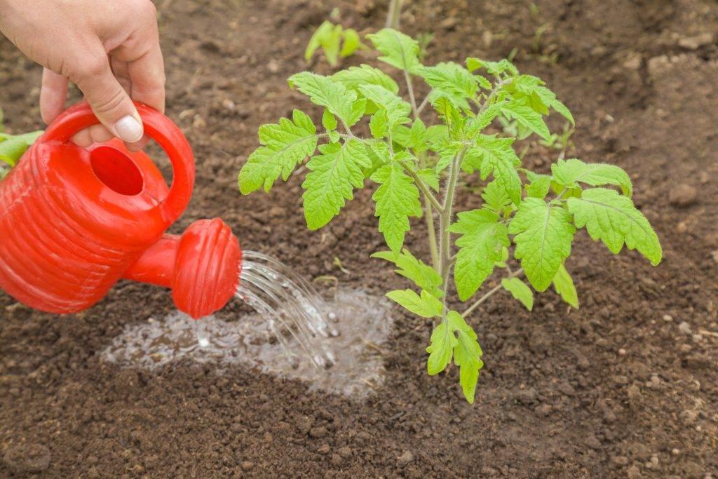 Как делать подкормку томатов - схема подкормки помидор