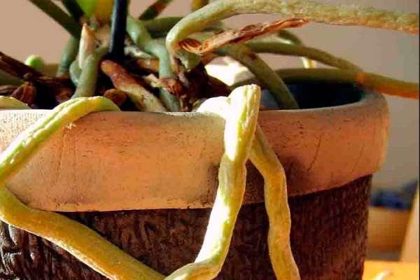 Воздушные корни орхидеи: что это и можно ли срезать?