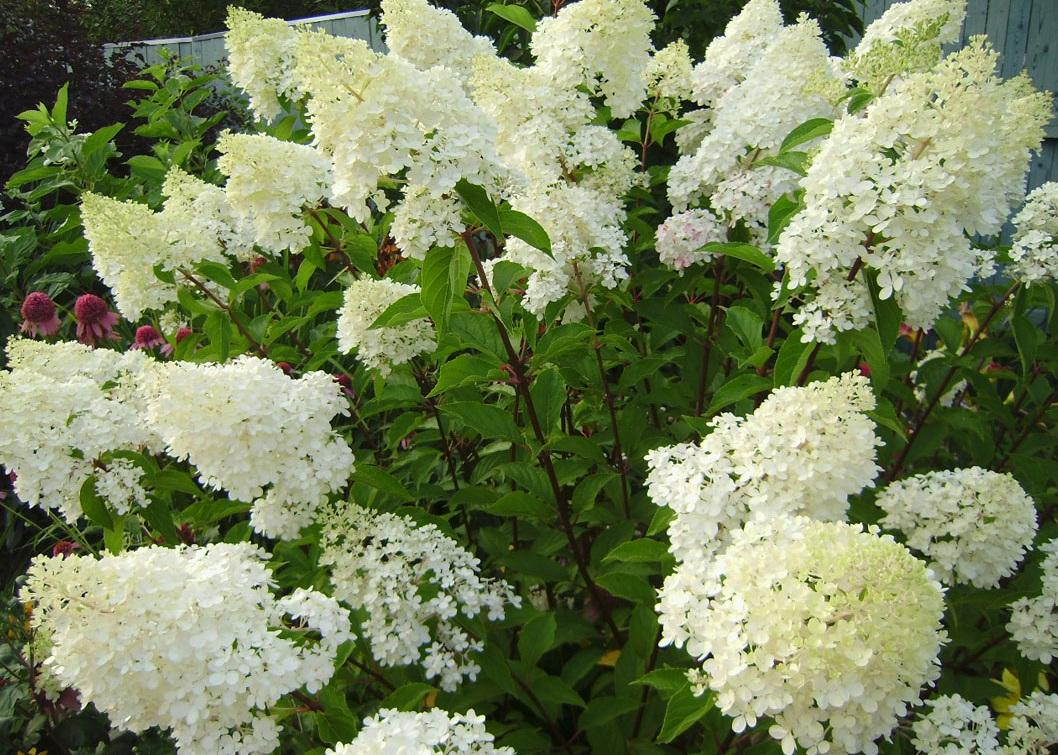 Гортензия древовидная в саду: личный опыт по выращиванию
