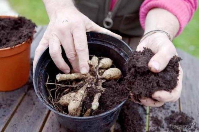 Георгины: когда выкапывать и как хранить зимой