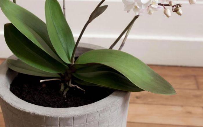 Мощный витаминный комплекс для орхидей! через 10 дней дружно появились цветоносы у пяти фаленопсисов…