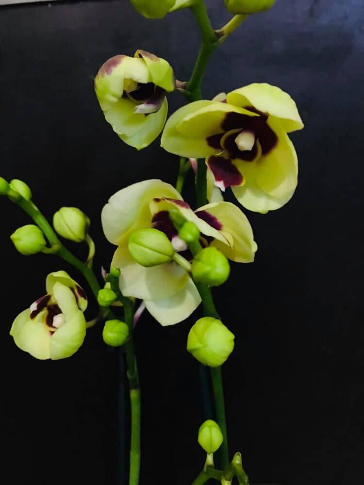 Зеленые орхидеи: обзор 10 необычных сортов для вашего подоконника, в том числе популярные фаленопсисы зеленое яблоко, виоланс альба, дендробиум анна грин и другие
