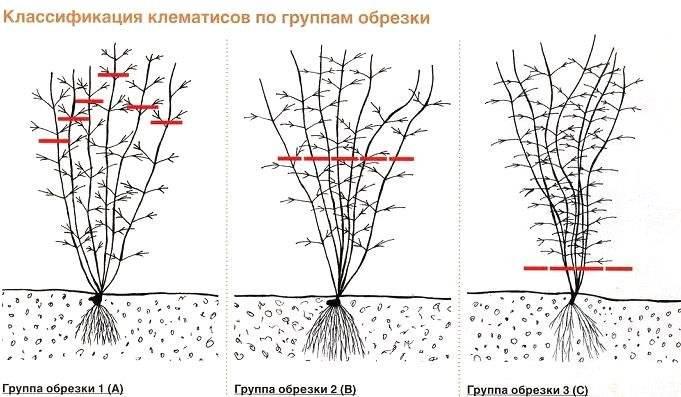 Обрезка клематиса (19 фото): группы. нужно ли обрезать клематисы на зиму? когда лучше: осенью или весной? описание 1 и других групп обрезки клематиса