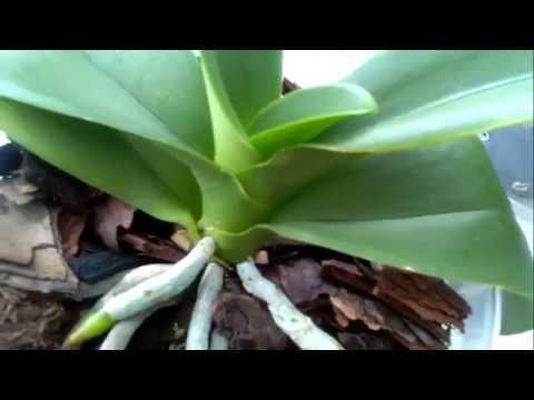 Как растет цветонос у фаленопсиса: сколько это занимает времени, как он выглядит на фото и как отличить его от корня, а также что делать, если сломался?дача эксперт