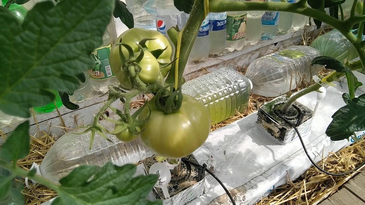 Выращивание помидоров на гидропонике, выбор раствора и лучших сортов