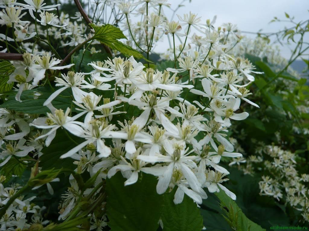 Клематис виноградолистный - неприхотливый вьющийся кустарник, описание внешнего вида, особенности и условия для роста