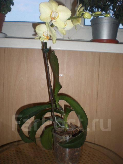 Орхидея фаленопсис: уход, пересадка, размножение. почему не цветёт в домашних условиях.