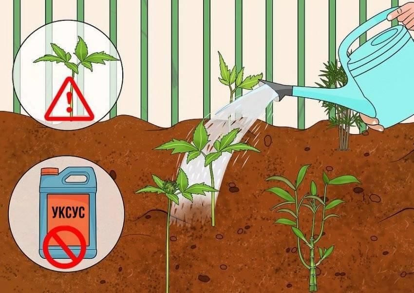 Какую почву любит гортензия и как ее подкислить?