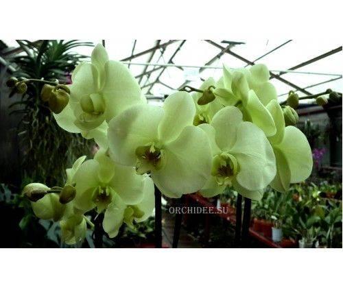 Очень красивые орхидеи. больше, чем просто цветы