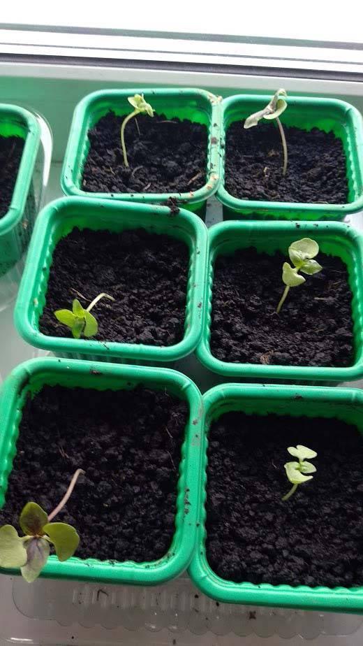надо ли досвечивать рассаду капусты
