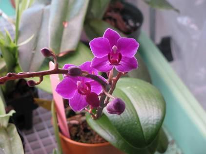 У орхидеи высохли воздушные корни что делать. как оживить засохшую орхидею?