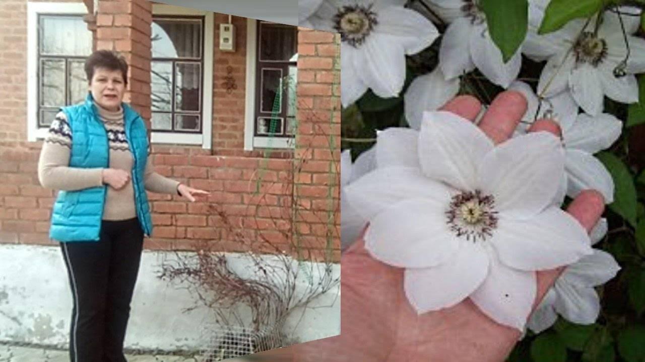 Различия в обрезке клематисов весной и осенью