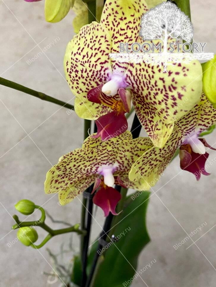 Зеленые орхидеи: описание сортов и правила ухода