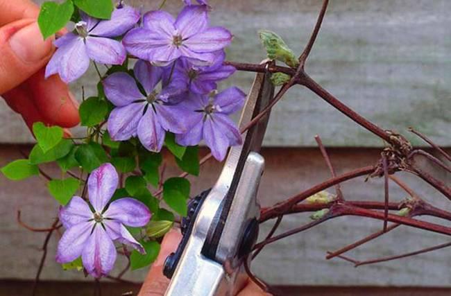 Когда обрезать клематисы осенью — пошаговые советы для каждой группы обрезки клематисов.