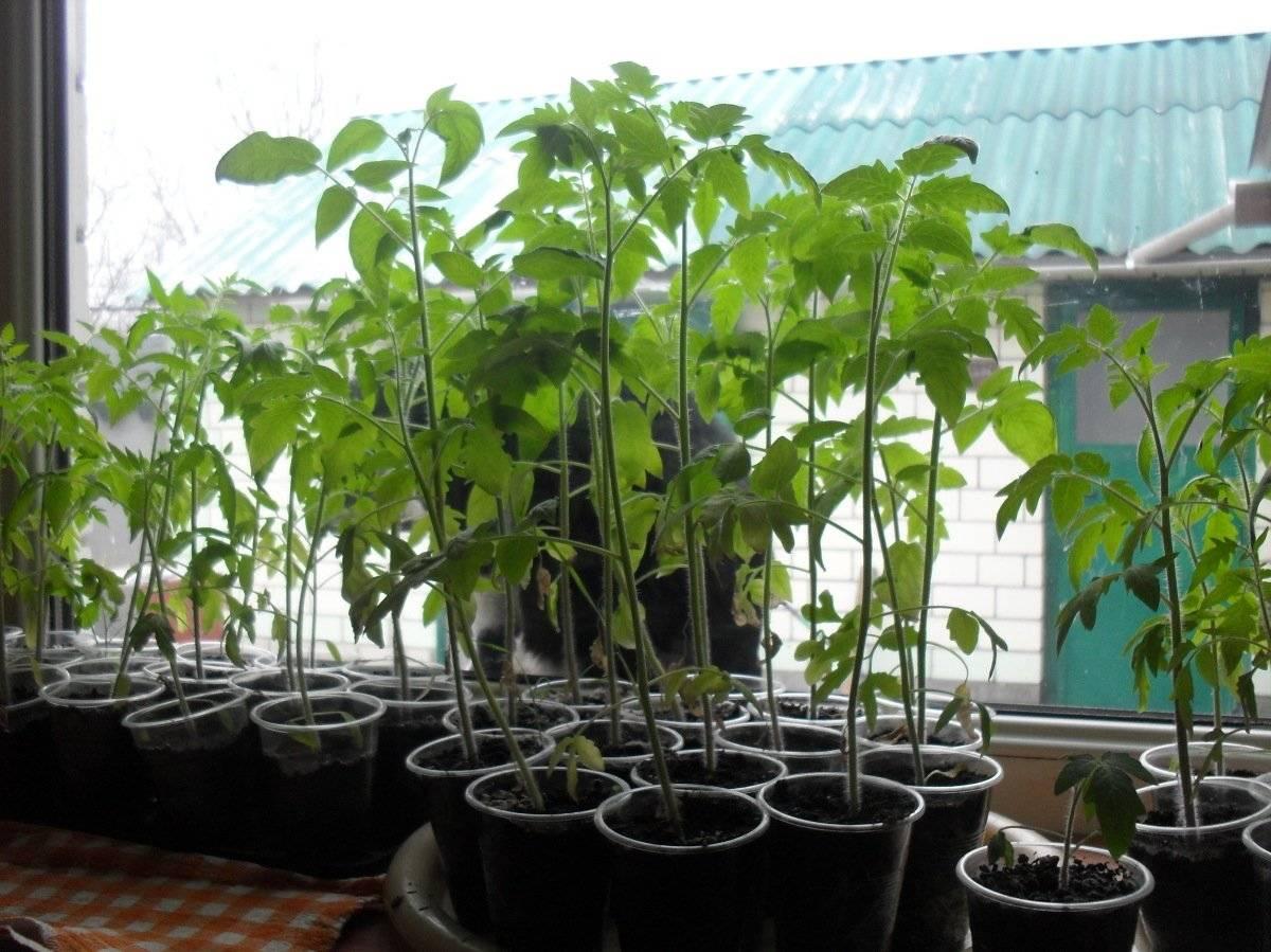 чем поливать рассаду помидоров в домашних условиях