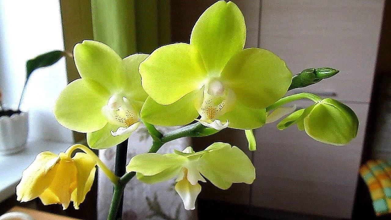 Желтая орхидея фаленопсис: описание и фото прекрасного цветка