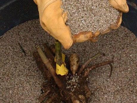 Когда выкапывать георгины осенью