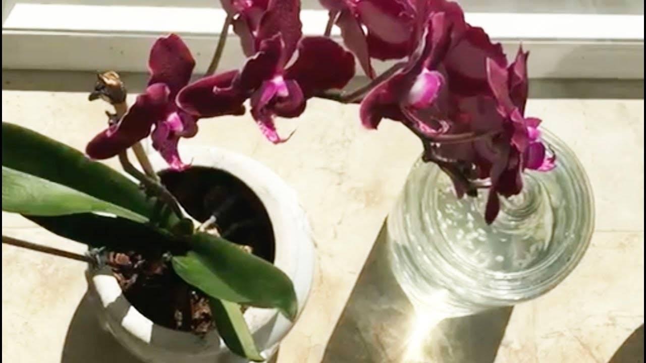 Чеснок — спасение для орхидей