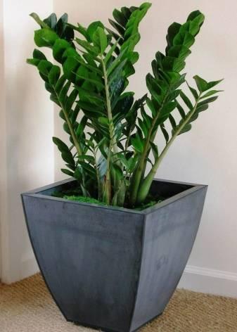 Как вырастить карликовое долларовое дерево на окне? все о замиокулькасе зензи: описание и фото, посадка и уход