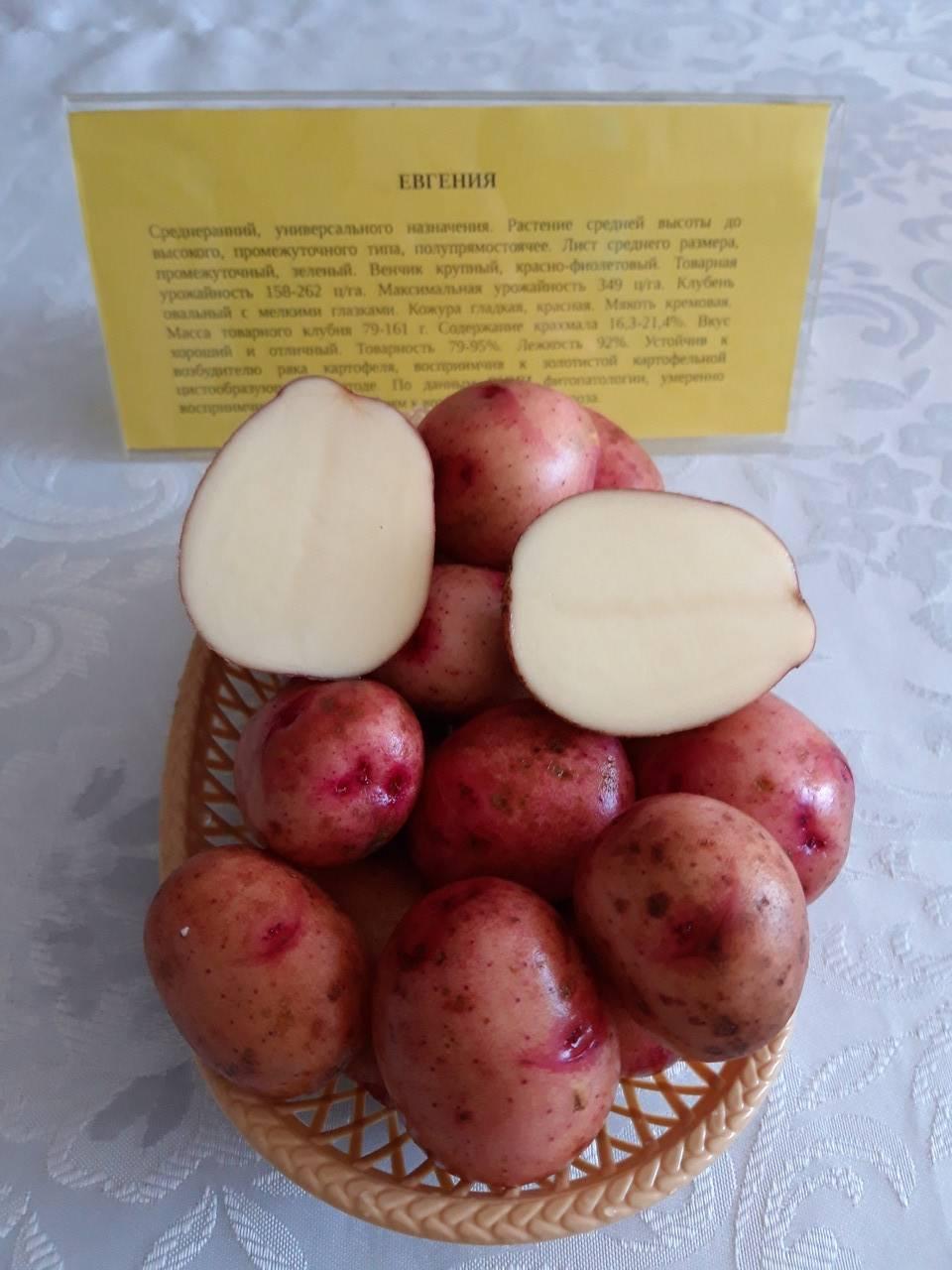 Хорошие сорта картофеля для черноземья