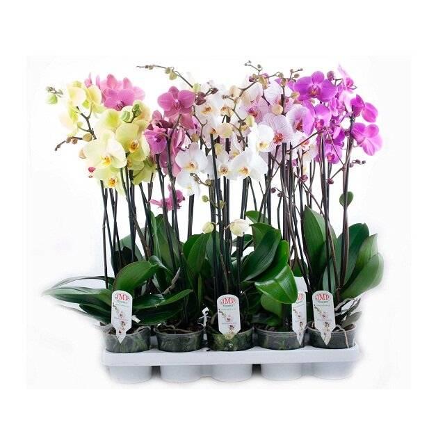 Фаленопсис: как правильно ухаживать за орхидеей после и во время цветения в домашних условиях, пересадка цветка в горшок после покупки
