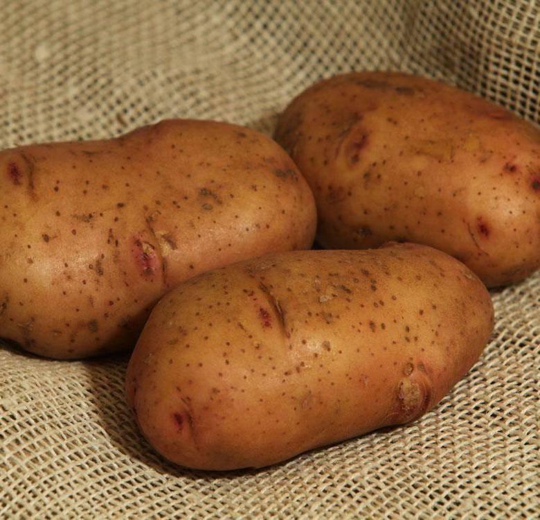 Семенной картофель: обзор сортов и методы выращивания