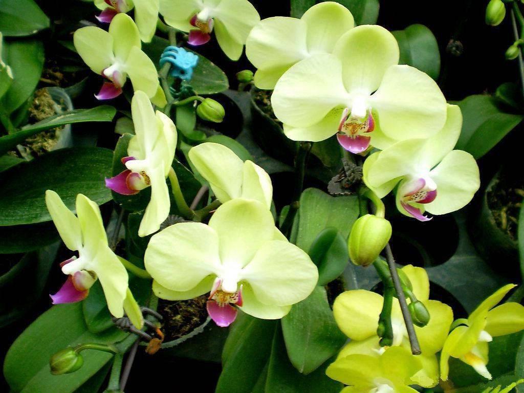 10 необычайно красивых зеленых орхидей для вашего подоконника