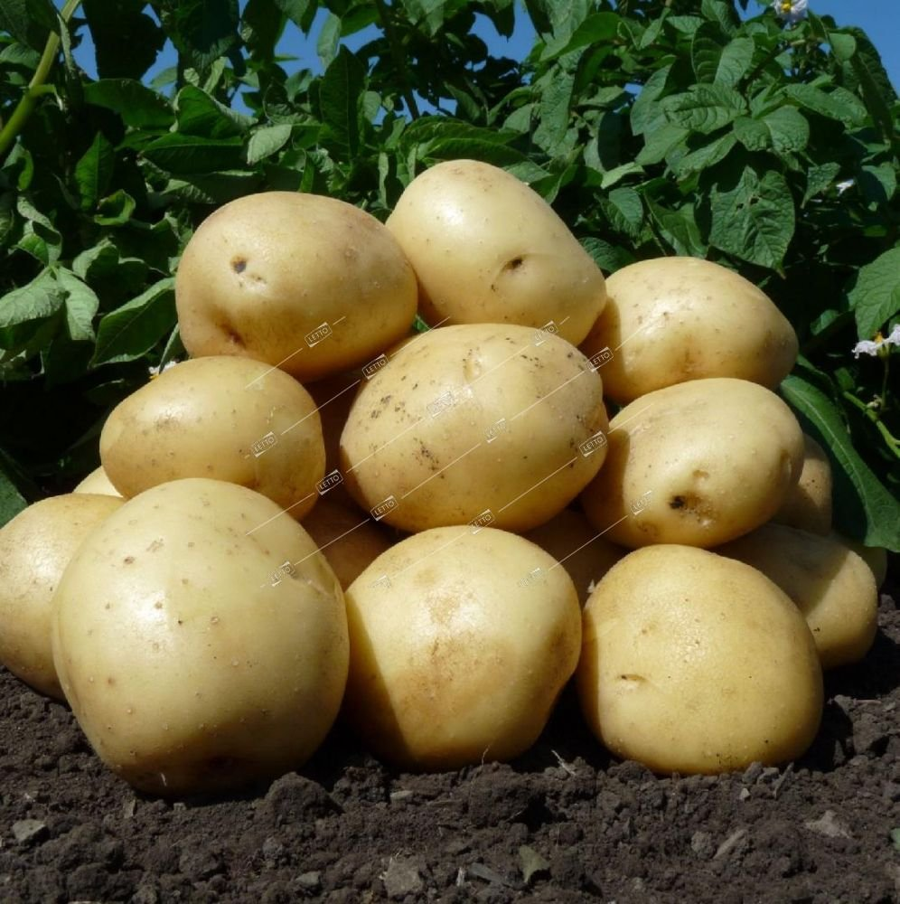 Лучшие сорта картофеля для посадки в 2020 году