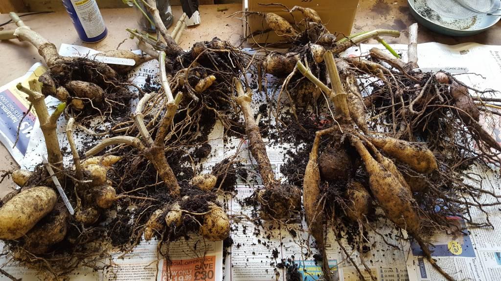 Как хранить георгины после выкопки: когда выкапывать осенью, можно ли не выкапывать на зиму