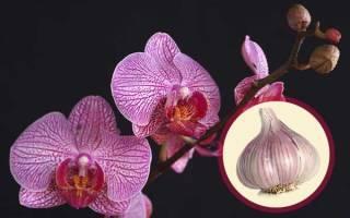 Чесночная вода для орхидей: правила полива и реанимации orchidfan.ru