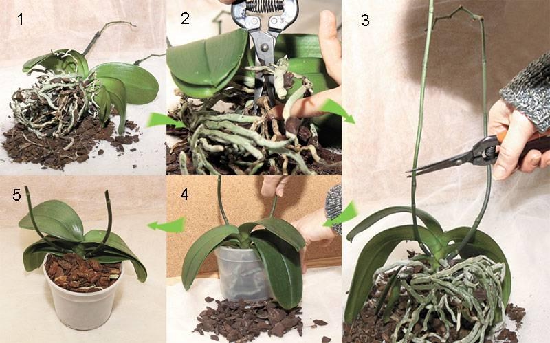 Как ухаживать за орхидеями фаленопсис в домашних условиях