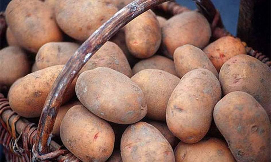 Сорта картофеля в воронежской и белгородской областях устойчивые к влаге