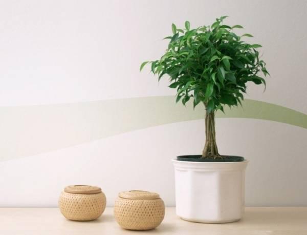 Земля для фикуса: необходимый состав для выращивания