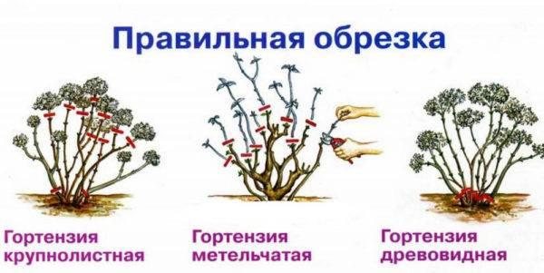 Уход за гортензией осенью: подготовка к зиме, сроки