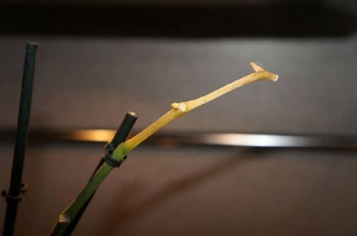 Орхидея желтеет selo.guru — интернет портал о сельском хозяйстве