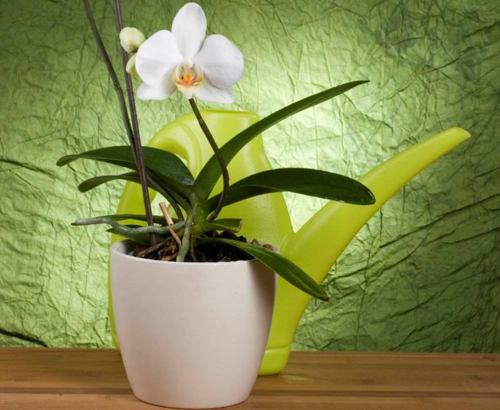 Рассказываем, как ухаживать за орхидеей в домашних условиях после покупки в магазине