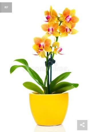 Существует ли голубая орхидея: крашеная она или нет?