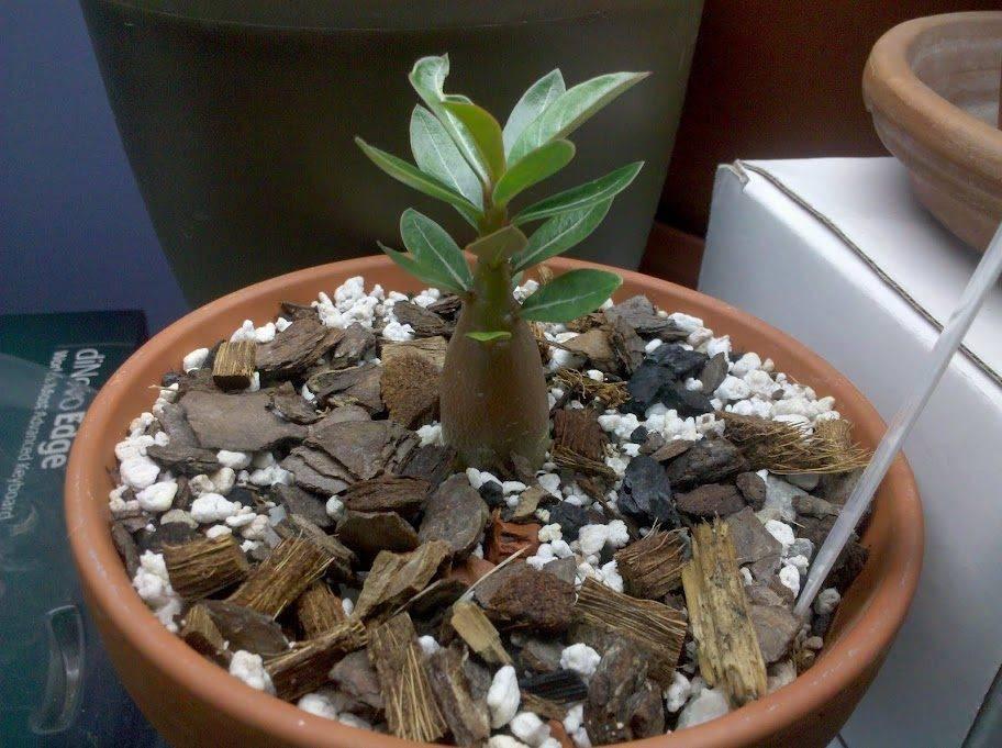 Выращивание адениума из семян в домашних условиях: почва, полив, пересадка