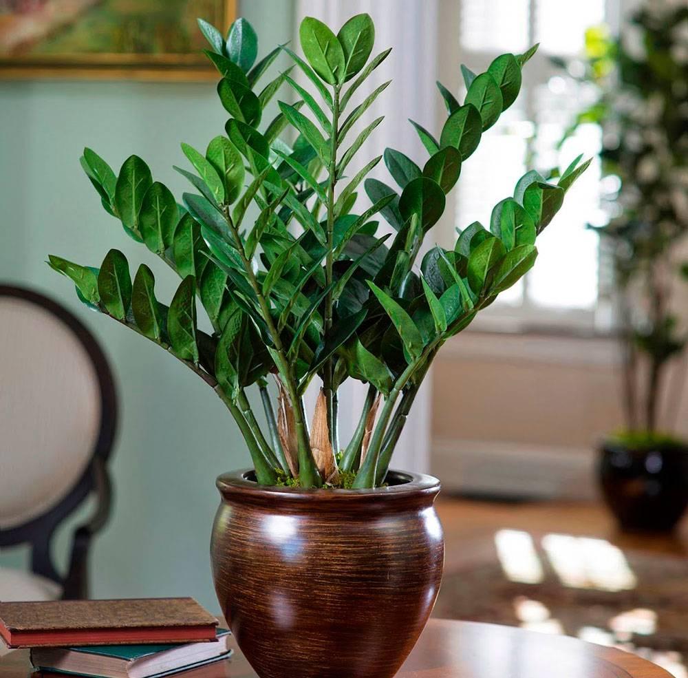Цветение замиокулькаса в домашних условиях: как часто цветет долларовое дерево