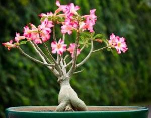 Как вырастить адениум дома из семян: выбор грунта, горшка, как поливать, уход