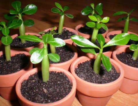Адениум дома: размножение, семена, выращивание в домашних условиях