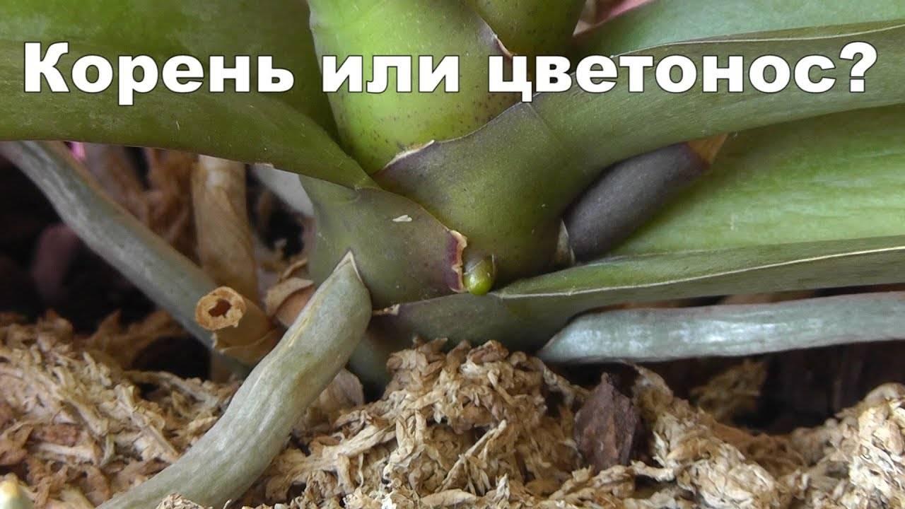 Цветонос орхидеи (14 фото): как он появляется? что делать, если цветонос сломался? как вырастить из него орхидею в домашних условиях? как он выглядит?