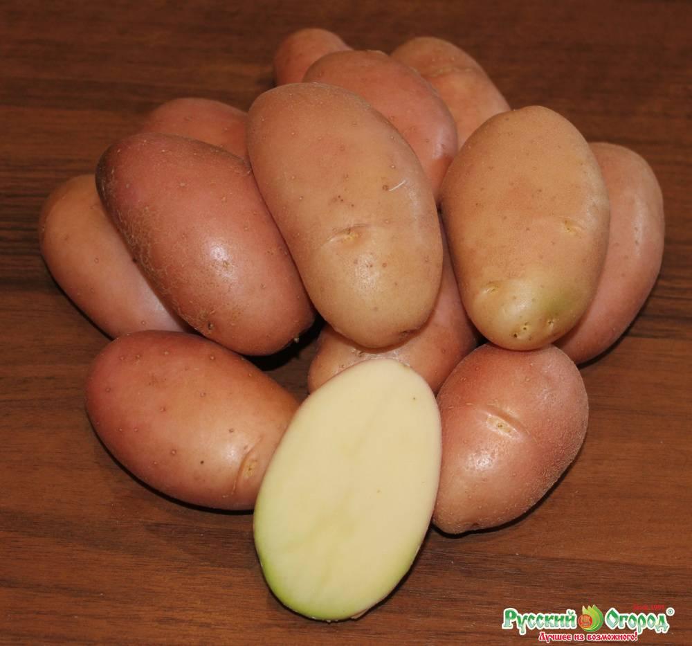 Как вырастить картофель из семян в домашних условиях: за один сезон через рассаду, фото и описание бульбочек, как правильно посеять элитную картошку, селекция