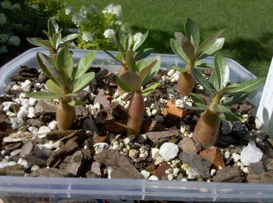 Уход за адениумами в домашних условиях, выращивание из семян + фото и видео