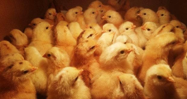 Выращивание цыплят бройлеров